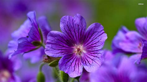flower pic purple geranium flower wallpaper