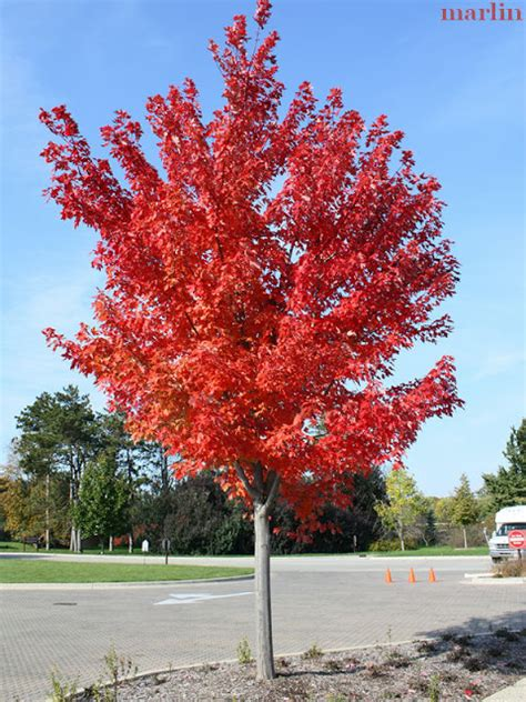 maple tree not autumn blaze maple trees autumn crafts picture