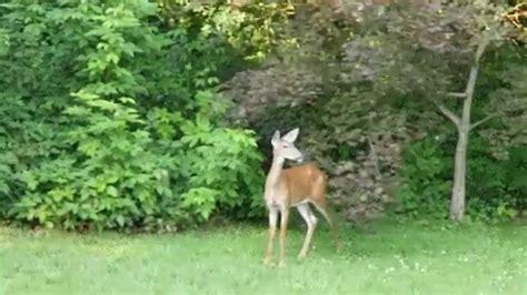 deer in backyard lumix gh4 4k 100mb 30p deer in backyard youtube