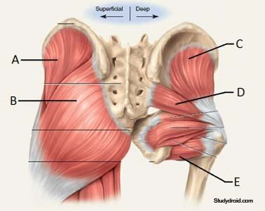 muscles in buttocks diagram pin by justin seeduang on นวด anatomy
