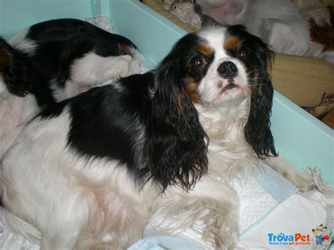cavalier king in appartamento cuccioli di cavalier king charles spaniel in vendita a