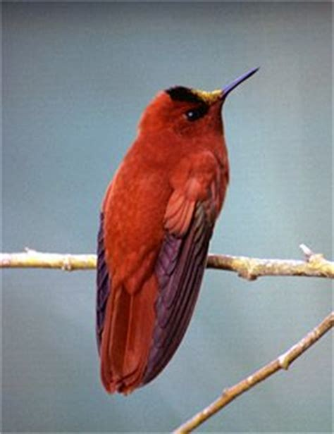 heat l for hummingbirds 89 best aves de chile images on pinterest beautiful