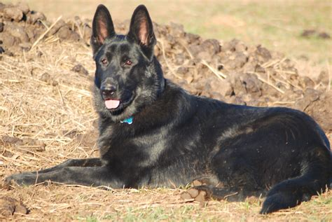 german shepherd pictures black german shepherd pictures to pin on pinsdaddy