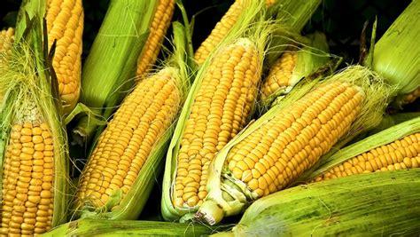 el corn clsicos de 205 gy k 233 sz 237 tsd el a főtt kukoric 225 t pillanatok alatt a mikr 243 ban spurman