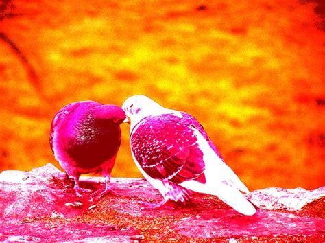wallpapers love birds wallpapers hd wallpapers love birds