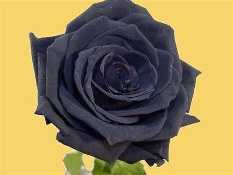 rosas negras imagenes gratis imagenes de rosas negras imagui