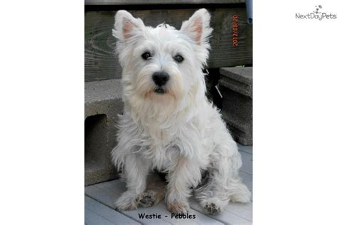 westie puppies for sale in michigan west highland white terrier westie puppy for sale near southwest michigan michigan