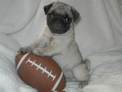 pug puppies for sale in arkansas beautifull and pug puppies for sale animals belleville arkansas