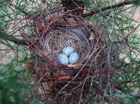 cardinal eggs color photo northern cardinal nest with eggs