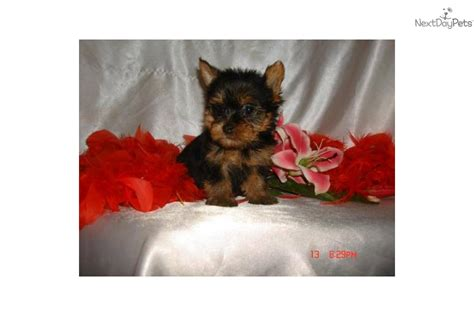 teddy teacup yorkie picture of rock a terrier breeds picture