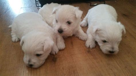westie puppies for sale gorgeous westie puppies for sale leeds west pets4homes
