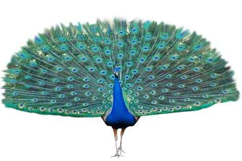 pictures with transparent background peacock transparent background