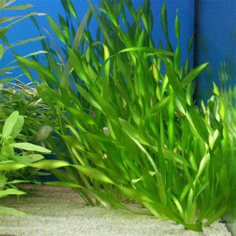 Kung Halaman anong halaman ang pwede mabuhay sa aquarium aquarium