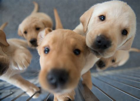 how to guide dogs how you can foster a puppy to become an guide