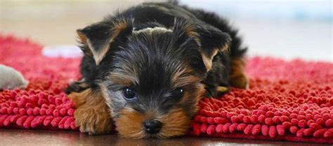 yorkie puppies 101 terrier breed