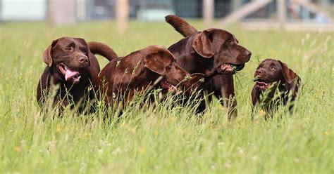 golden retriever vic victor s labrador golden retrievers