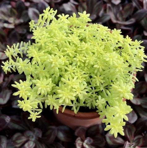 golden moss sedum    pot  shipping ebay
