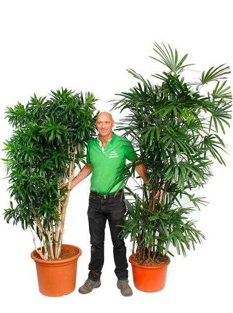 Große Zimmerpflanzen Kaufen 31 by Gro 223 E Zimmerpflanzen Kaufen 123zimmerpflanzen