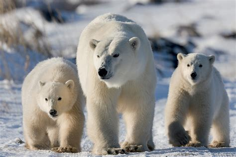 you ll see polar mothers and cubs on this tour of canada s coastal tundra la times