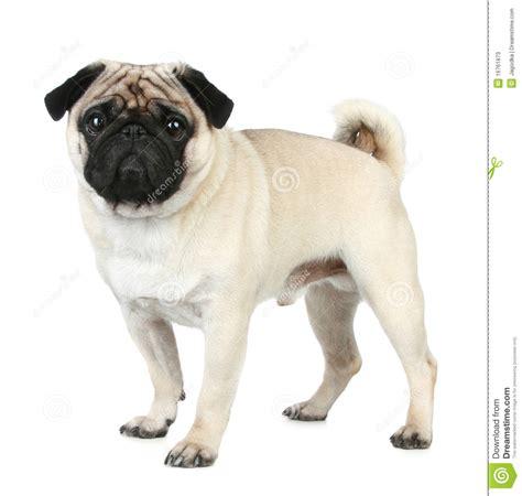 do pugs filhote de cachorro engra 231 ado do pug fotos de stock imagem 16761873