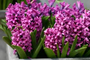 hyacinth color pink hyacinths pink color photo 29860366 fanpop