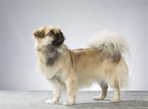 tibetan spaniel pug 10 breeds you didn t were related iheartdogs
