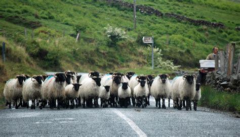 how to a to herd sheep rambling traveler herding sheep along lough mask