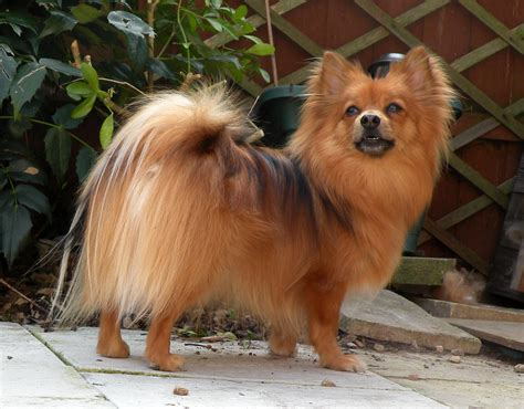 breed pomeranian pomeranian a small and active adogbreeds