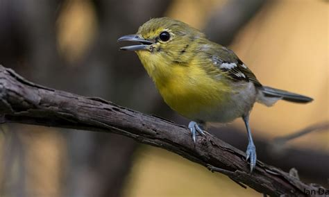 yellow throated vireo birds of north america online