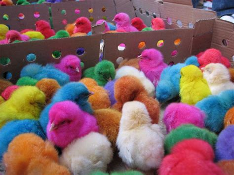 colorful chickens gt colorful