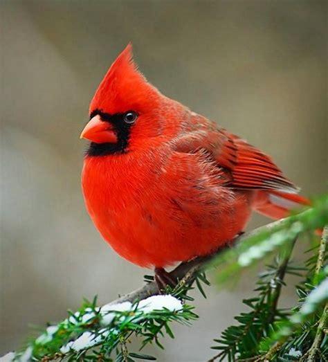 state bird of north carolina illinois state bird cardinal state birds and flowers