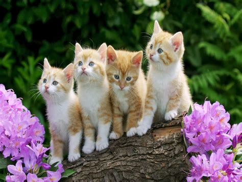 kitten wallpaper for pc cute kitten wallpaper for desktop wallpaperyork brows