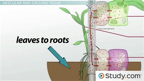 primary c section definition structure of plant stems vascular and ground tissue