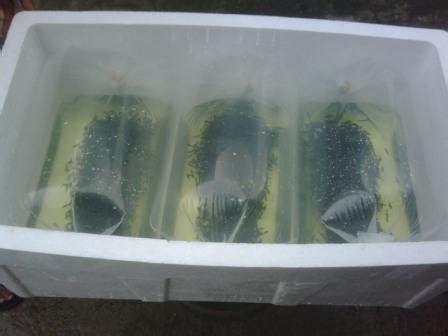 Bibit Ikan Gurame Soang bibit ikan gurame murah budidaya ikan air tawar