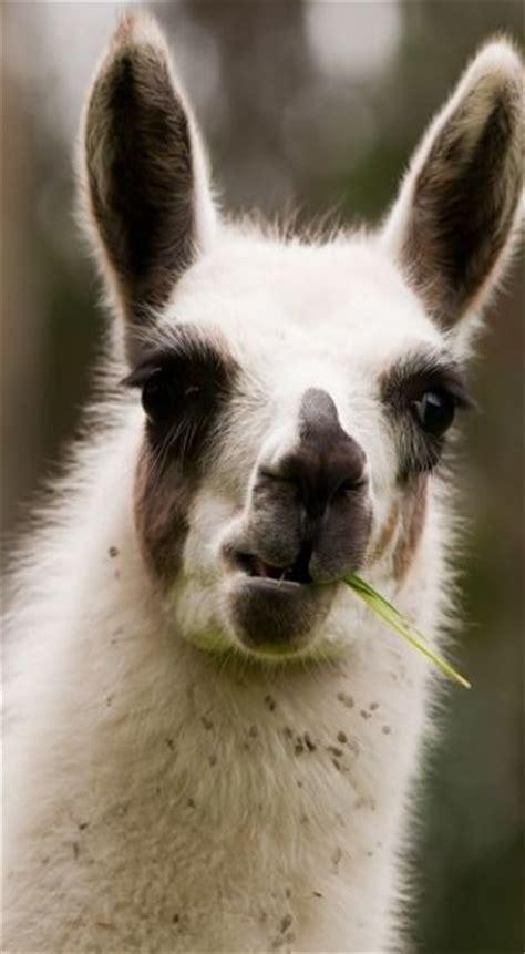 llama facts animal facts encyclopedia
