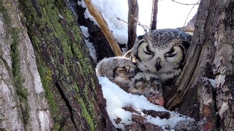 mother owl feeding her babies youtube