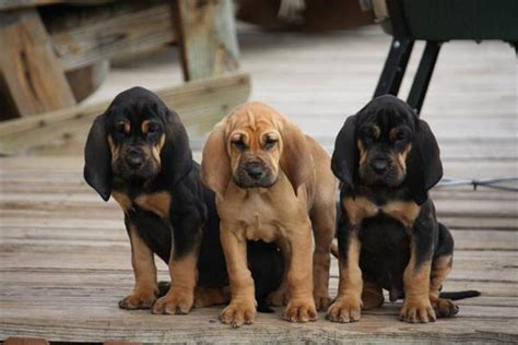 free bloodhound puppies bloodhound temperament names rescue adoption