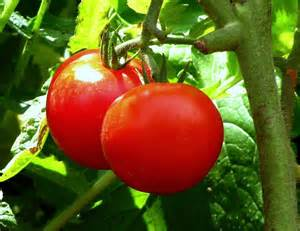 growing tomatoes the ultimate guide to growing tomato plants