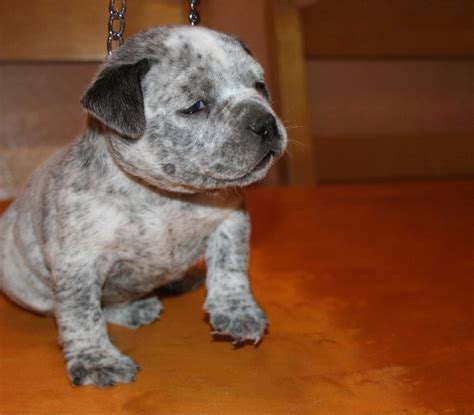 blue pitbull puppies for sale blue pit bull puppies for sale blue nose pitbull puppies florida blue pit bull and