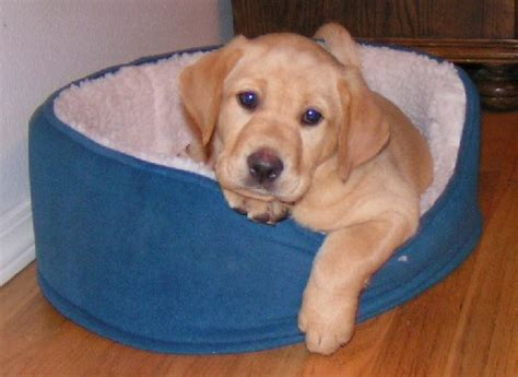 lab puppies oregon quelques liens utiles