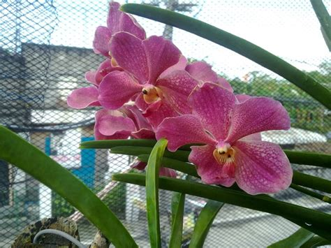 several vandaceous orchids in bloom again