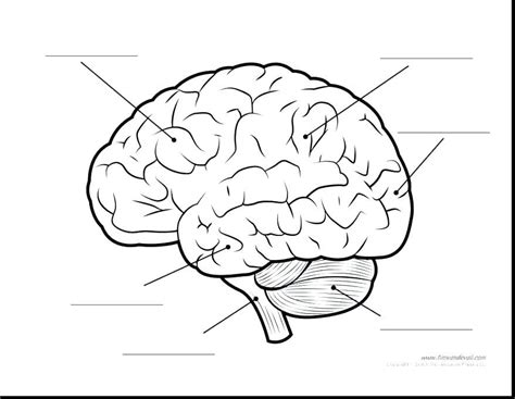 brain coloring page parts of the brain coloring page parts of the brain
