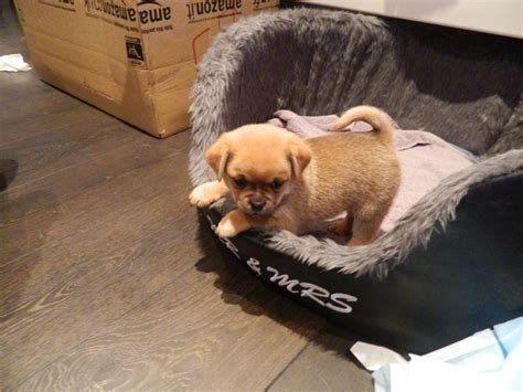 pomeranian cross breed pug and pomeranian cross breed puppies hove east sussex pets4homes