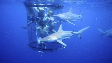 dive shark shark cage diving kzn in durban cage diving kzn december