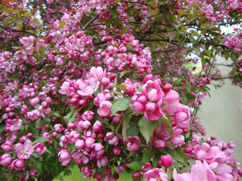 macintosh apple tree blossoms flowers and gardens