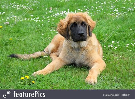 leonberger puppy price pets leonberger on a meadow stock picture i3847649 at featurepics