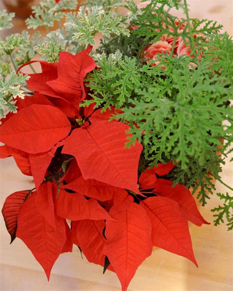 centerpiece ideas martha stewart poinsettia centerpiece martha stewart