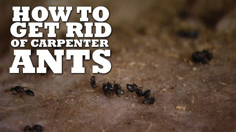 How To Get Rid Of Ants In The Bathroom how to get rid of carpenter ants diy fyi