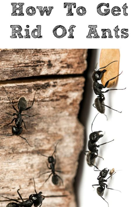 how to get rid of ants in your home in the summer and