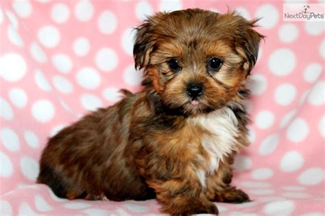 what is the average weight of a shih tzu ten most important facts about the shih tzu yorkie mix the more reasons you would